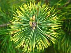 pine-394246__180